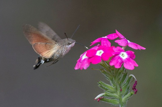 2013-11-12 Crazy - Hummingbird Hawk-Moth