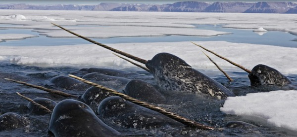 2013-11-12 Crazy - Narwhal