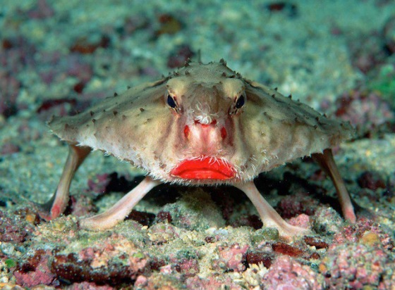 2013-11-12 Crazy -  Red lipped Batfish
