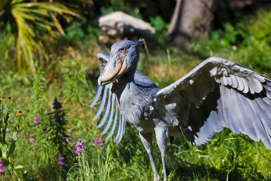 2013-11-12 Crazy - Shoebill Bird