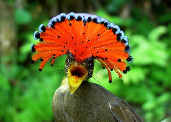 2013-11-12 Crazy - The Amazonian Royal Flycatcher