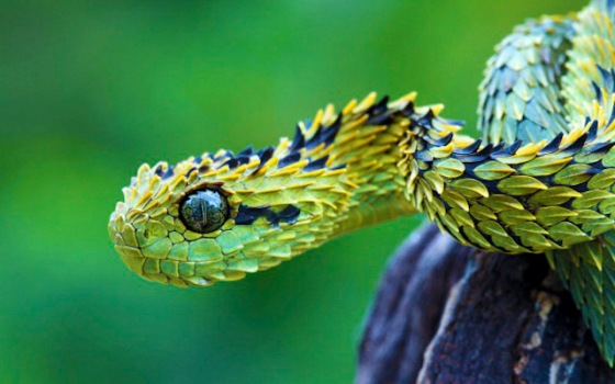 2013-11-12 Crazy - The Bush  Viper