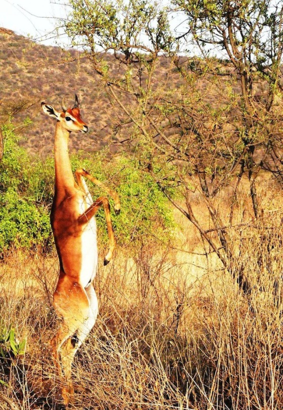 2013-11-12 Crazy - The Gerenuk 2