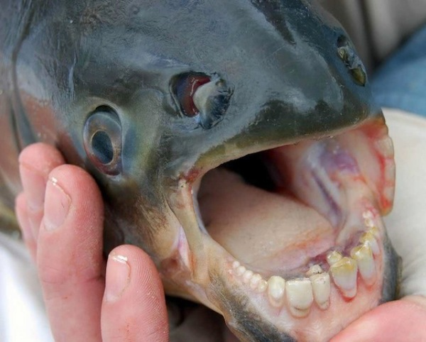 2013-11-12 Crazy - The Pacu Fish