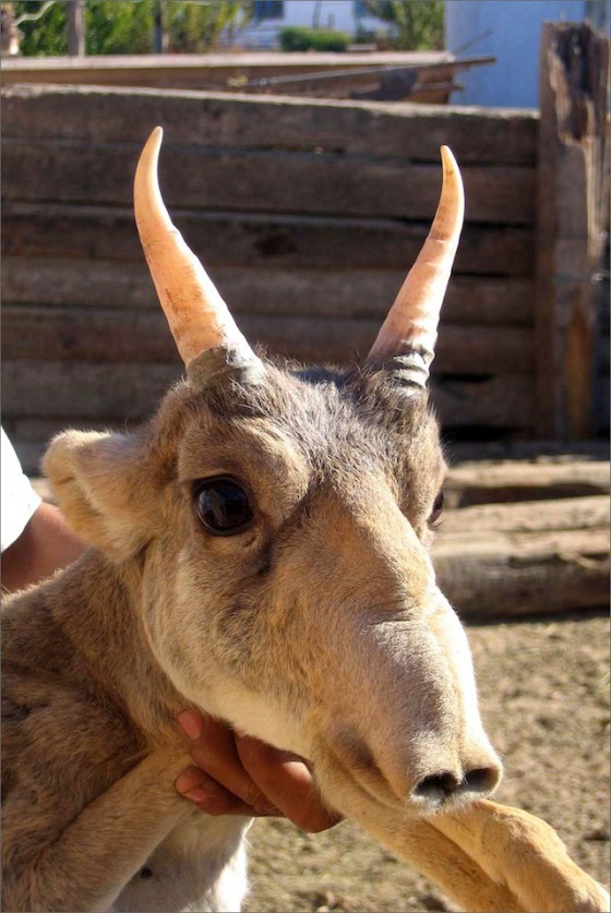 2013-11-12 Crazy - The Saiga Antelope