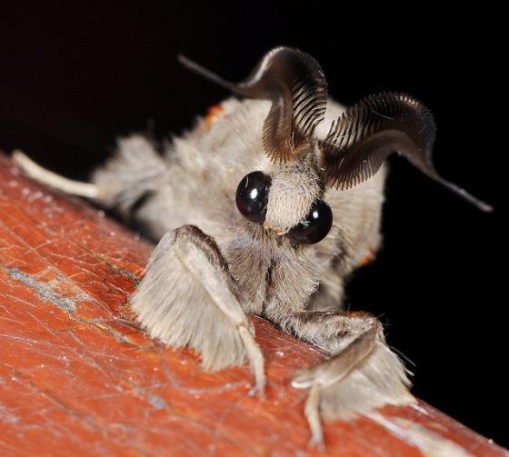 2013-11-12 Crazy - Venezuelan Poodle Moth 2